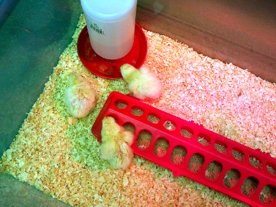 Our class eggs start to hatch (1)