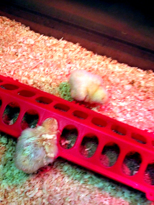 Our class eggs start to hatch (2)